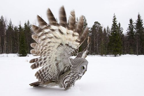 Fan DanceGrey Owls, Birds Photography, Winter Photography, Gray Owls, Snow, Beautiful, Feathers, Dance, Animal