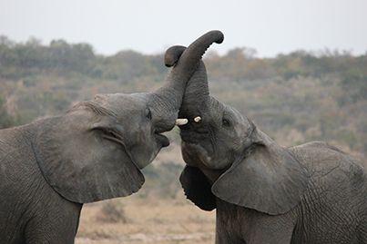 Camp Jabulani's calves, Limpopo and Zindoga, hard at play.