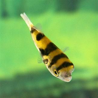 17 best images about freshwater fish on pinterest africa for Amazon puffer fish