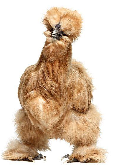 Das kommt dabei raus wenn man zuviel Eiweißpulver futtert :D Silky chicken