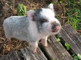 Cute pig 🐷