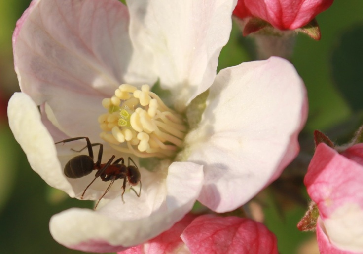 Ant Climbing a Flower, Apple Blossom
