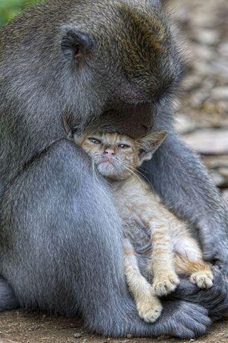 A macaque monkey rocks his cat companion to sleep   | odd couples | animals | | pets | #pets  #animals   https://biopop.com/