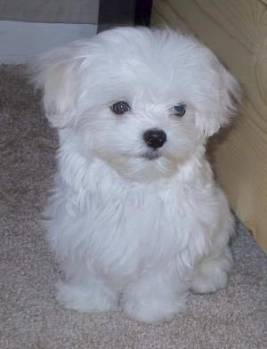 Bichon. I want one of these one day.