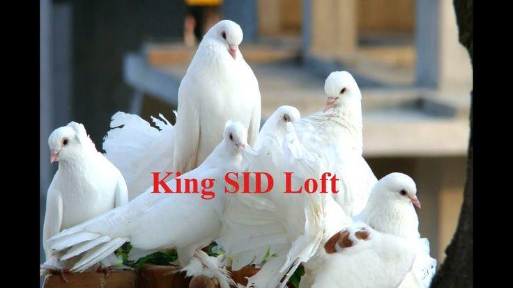 White & black  best pigeons  loft cage & Pigeons  feeding daily activity...