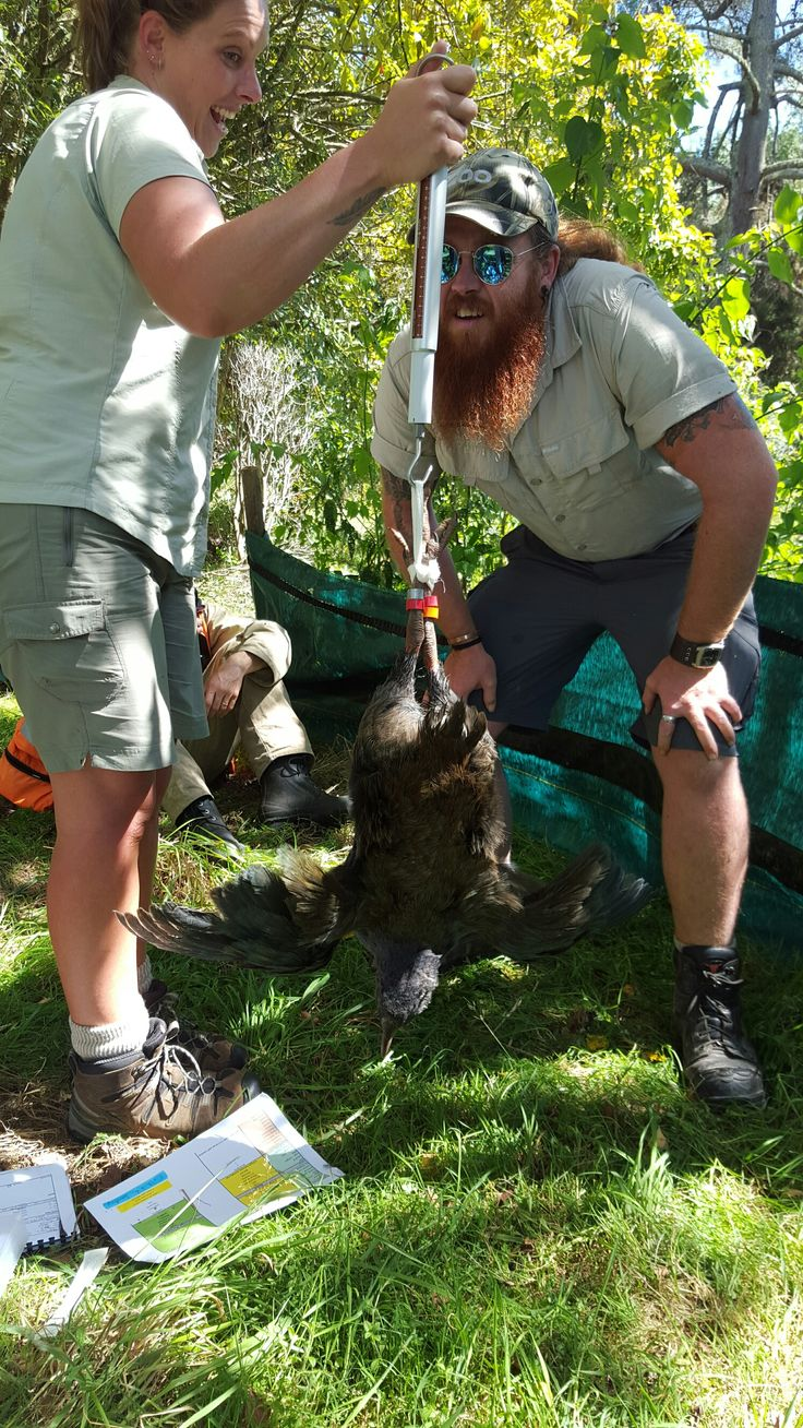 Auckland Zoo staff came to Wairakei to give our takahe chick a health check. Zookeepers Tania and Chris are weighing our takahe chick. He/she is a whopping 2.65kg, which is considered heavy for a takahe chick. March 2016.