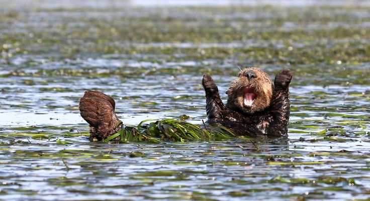 "Comedy Wildlife Photography Awards 2017 - ""Cheering Sea Otter"" by Penny Palmer"