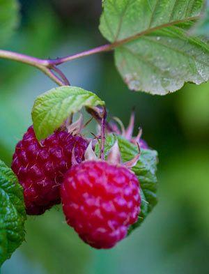 Raspberry 'Autumn Bliss'