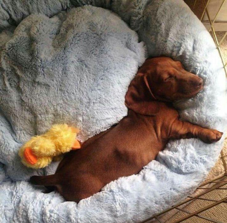 Прикольные картинки такса спящая на кровати
