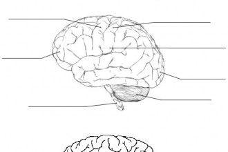 1000  ideas about human brain diagram on pinterest