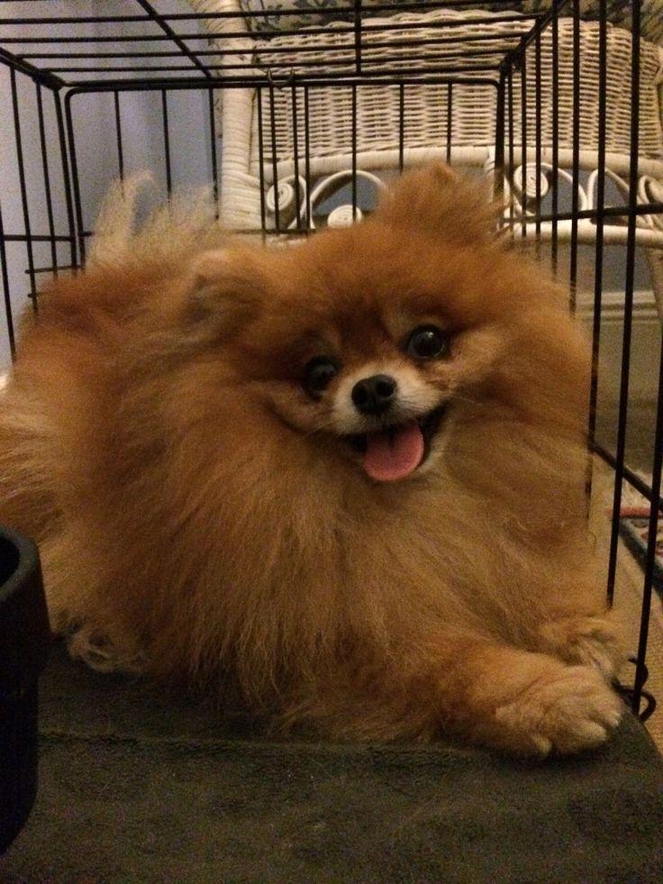 The Pomerania, Nutter Butter. Got fluffy? Toy dog breeds
