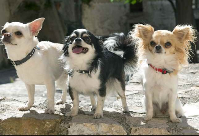 Long Haired Chihuahua Lifespan Information Cat Behavior Facts