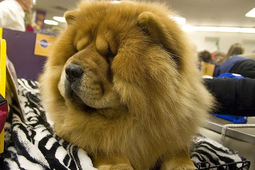 Chow Chow Puppies for sale in any US state