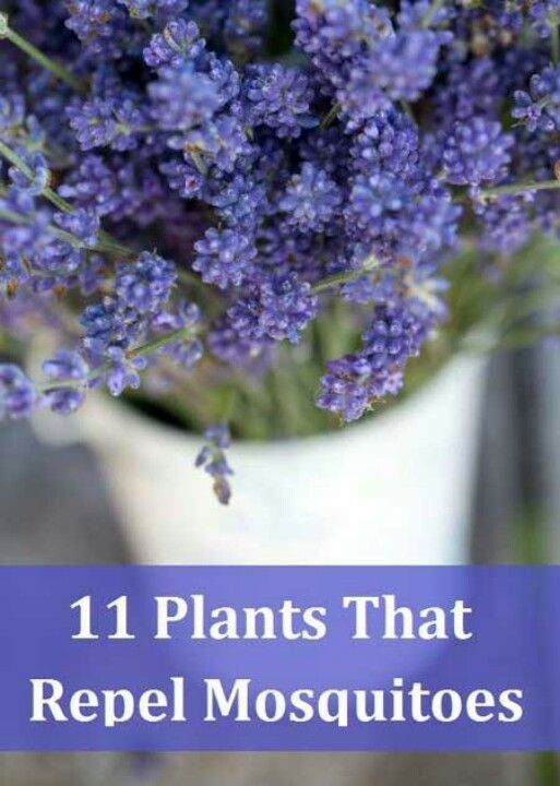 Plants that repel mosquitoes. Read all about it!