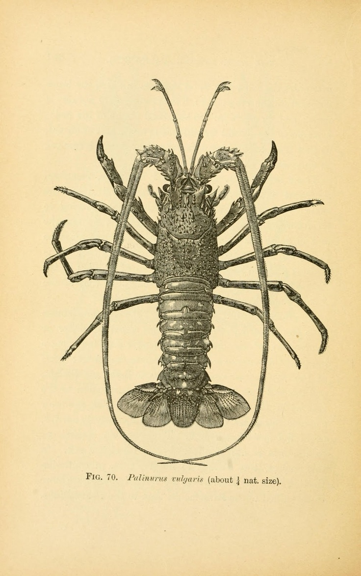 Book illustration, Rock Lobster, 1895....makes me hungry for rock lobster.