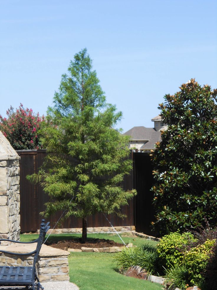 Bald Cypress Tree // Available At Treeland Nursery In Gunter, TX. Very Fast