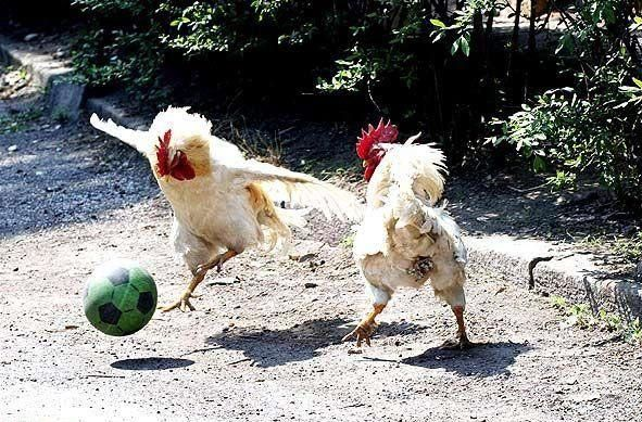 """Oh yeah - You try playing soccer with wings!"" #FunnyChickens www.FreeHenHousePlans.net"