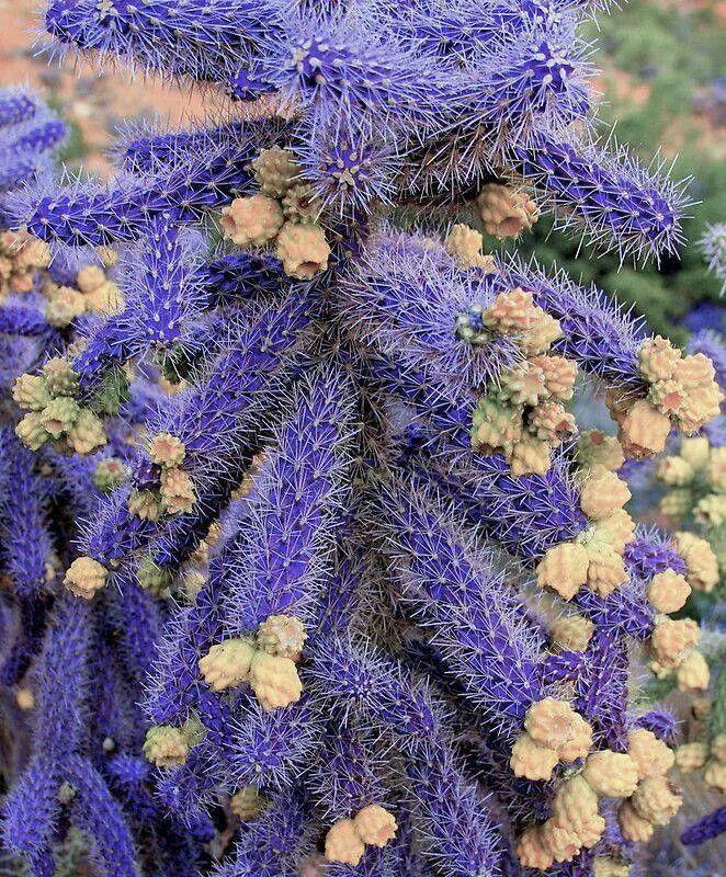 Purple cane chola cactus
