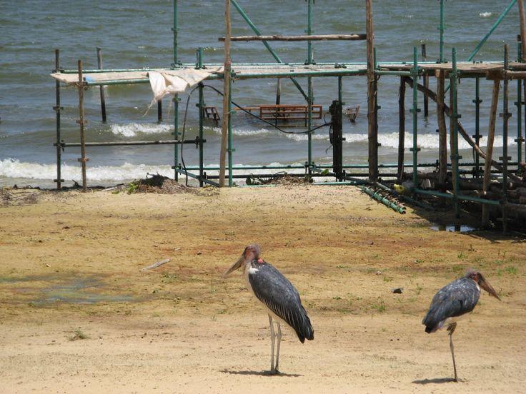 Uganda is a wonderful destination - except for the lake near Entebbe, where marabou storks patrol the desolate promenade.