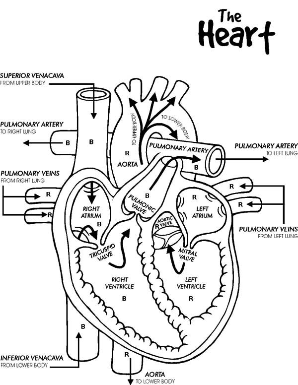 Anatomi Of Human Heart Coloring Pages : Bulk Color | Heart ...