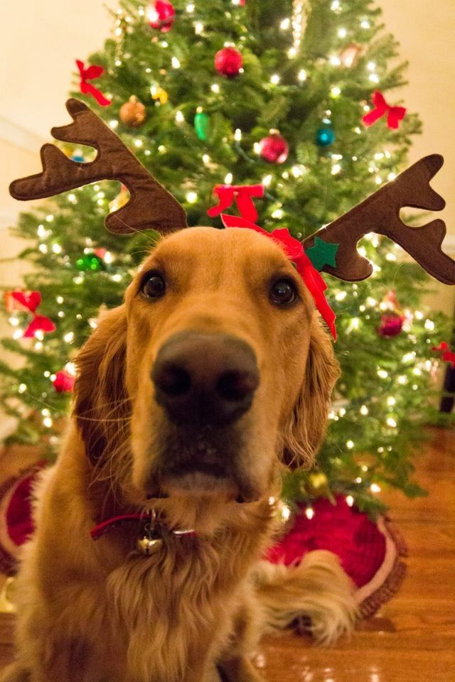 Best 25 Dog Christmas Pictures Ideas On Pinterest