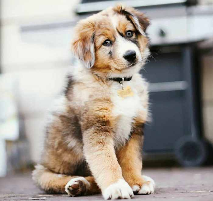 beautiful aussie puppy – Chris6212