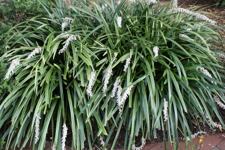 Ophiopogon jaburan vittatus for sale flower and grasses for Tall ornamental grasses that grow in shade
