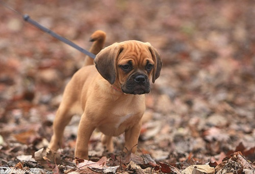Family Puggle, named; Gatsby. Pictured taking a walk in virginia waters