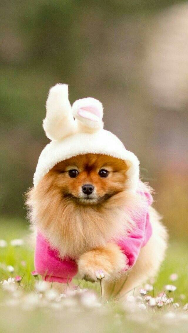 Pomeranian Decked Out For Easter Dog Wallpaper Iphone