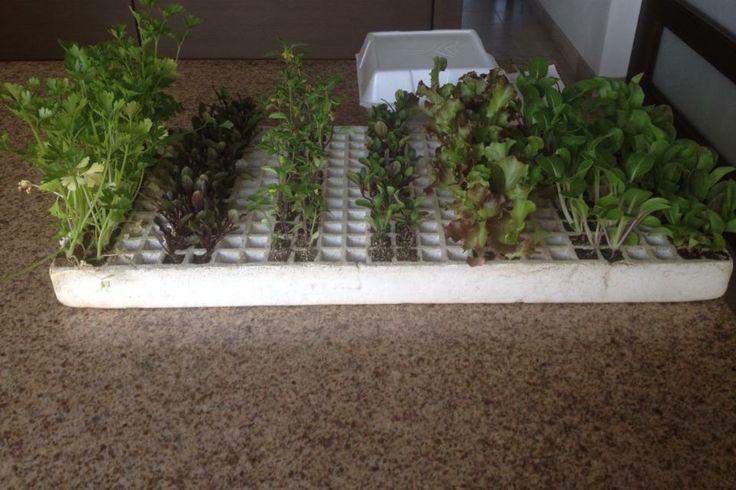 en esta imagen podemos observar las plantas germinadas (estas fuero conseguidas después de que murieron las otras)