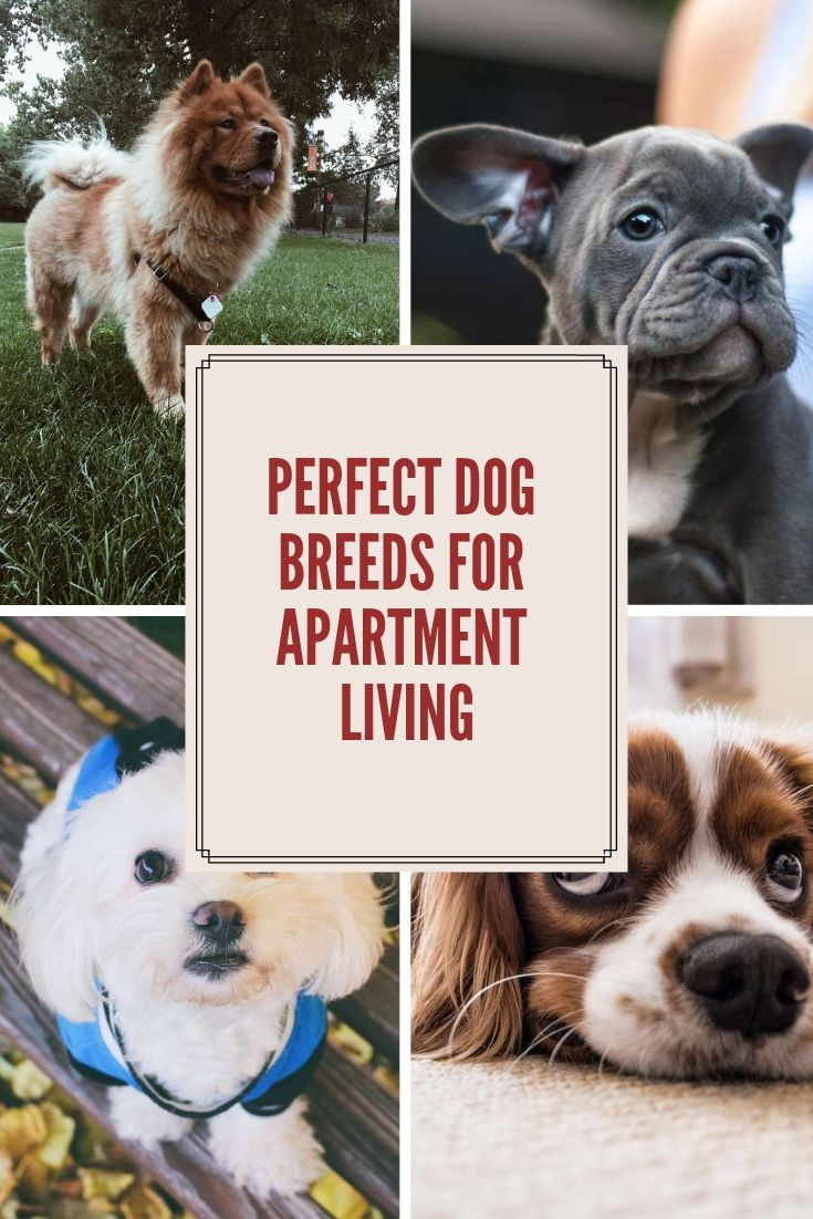 Perfect Dog Breeds For Apartment Living Dogs Dog Breeds Breeds
