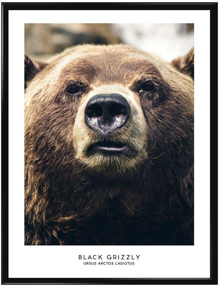 Den Svarta Grizzlybjörnen är den största av alla björnar och även om djuret är…