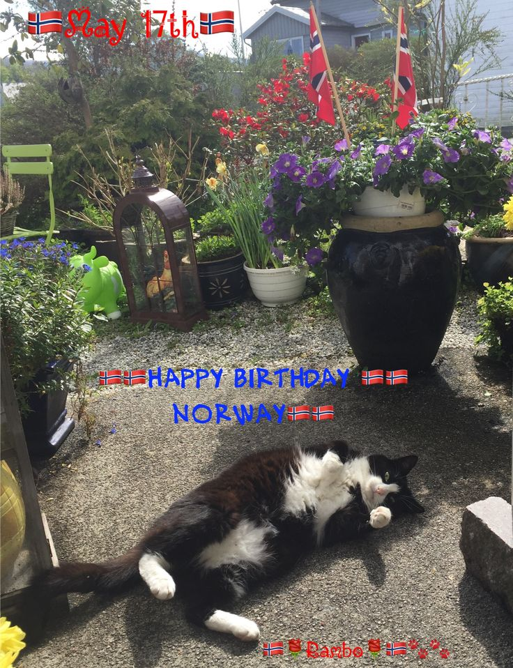GRATULERER MED DAGEN ALLE SAMMEN! HAPPY BIRTHDAY EVERYONE TODAY MAY 17TH IS NORWAY'S BIRTHDAY!  WE'RE ALL CELEBRATING - MY SELF INCLUDED! GOT SOME EXTRA CAT NIPS  LOVE FROM RAMBO ❤️ by Inger Johanne 5/17/17