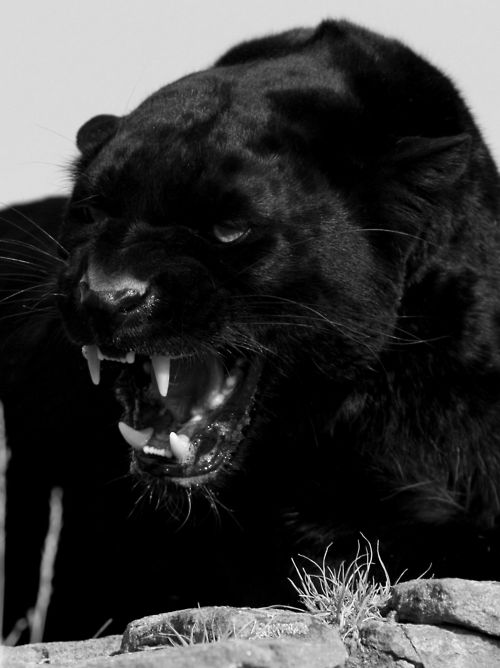 Black Panther - look at dem pearly whites!!