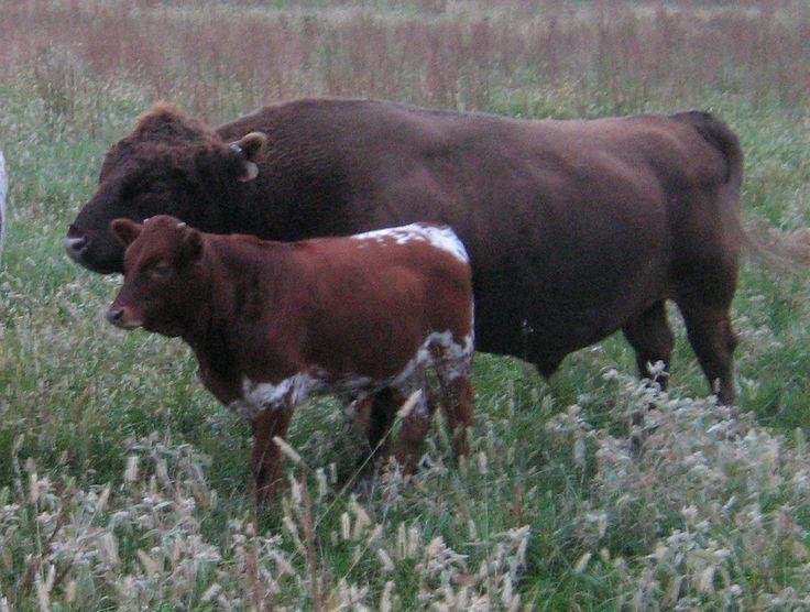 pin tuli cattle crossbreeds - photo #34