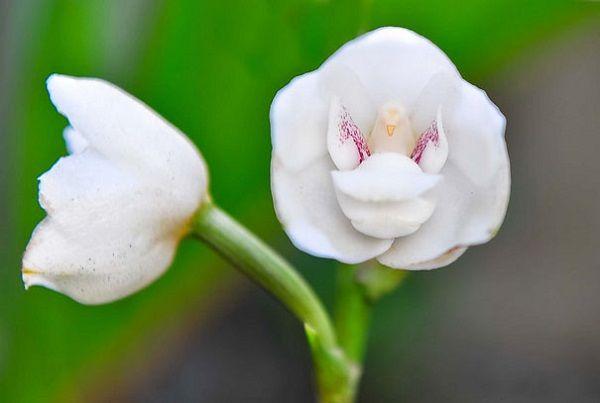 """Orquídea """"Flor del Espíritu Santo"""" (Peristeria Elata)"""