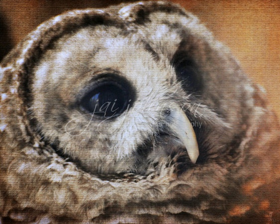 Barred Owl Photograph Print on Watercolor Paper by jaicards, $20.00Bar Owls, Barred Owl, Owl Photos, Owls Photographers, Watercolors Paper, Jigsaw Puzzles, Photographers Prints, Owls Photos, Owls Beautiful