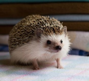 Available | West Coast Hedgehogs | Baby hedgehogs for sale in Oregon