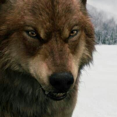 7 best Jacob in wolf form images on Pinterest | Wolves ...