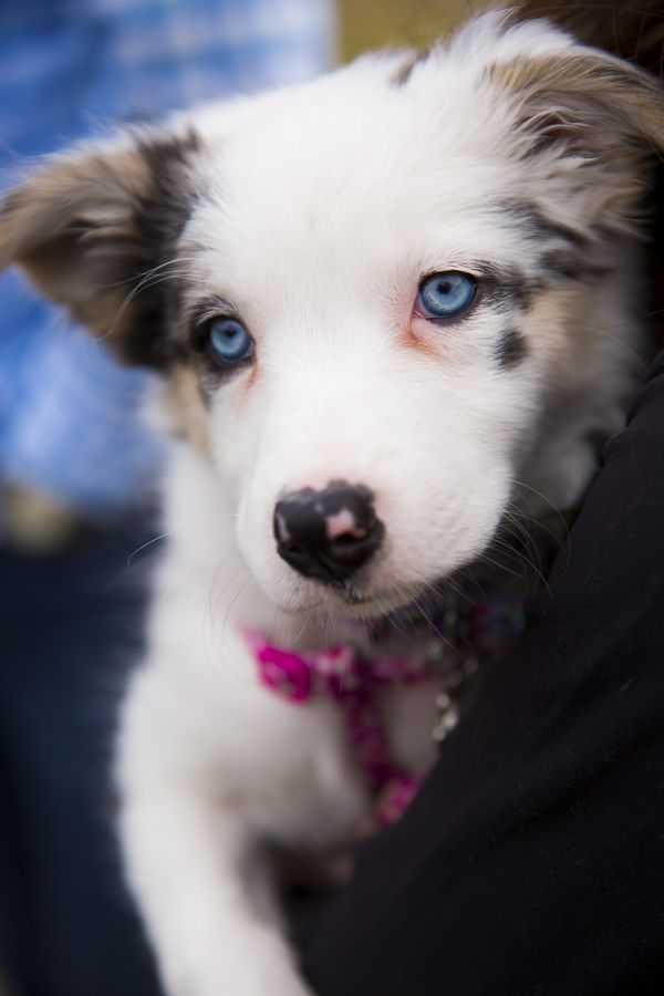 Puppy Love Opal The Border Collie Australian Shepherd Mix