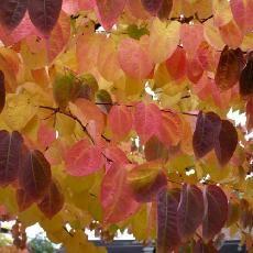 Cercidiphyllum japonicum - Cercidiphyllaceae - arbres au caramel,