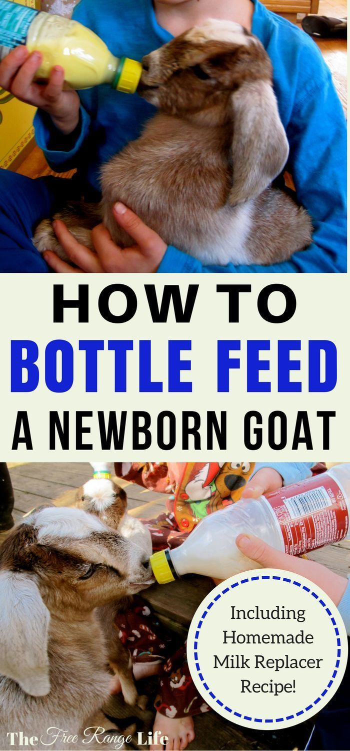 Do you have a mother who has rejected her kids? Learn how to bottle feed a goat and still have healthy and thriving babies! Milk replacer recipe included!