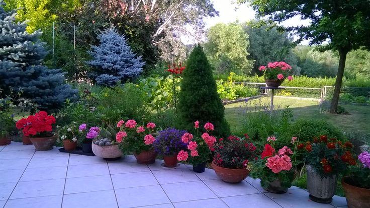 A kert - Cicero írja, ha van egy kert és egy könyvtár, akkor már majdnem mindened megvan, másra nincs is nagyon szükséged… Igaz, manapság ennél már mohóbban tervezünk, de ez a gondolat a XXI. század második évtizedében is elfér. Különösen mostanában, amikor Budapest benzingőzös, ózonnal telített savanyú lepelbe göngyölte magát és készül a nappali harmincnégy-harmincöt fokos végzetére. A kert ilyenkor igazi kincs, feltölt édes és könnyű boldogságérzettel… (németh györgy kert, kerepes)