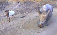 Questo cucciolo di rinoceronte è cresciuto con un agnello e si comporta come lui
