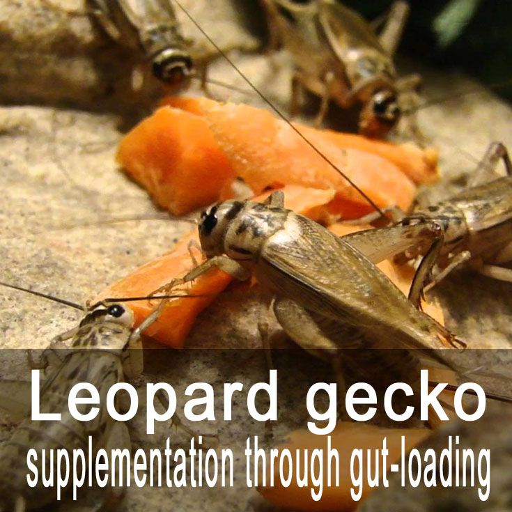 Leopard gecko supplementation through gut-loading