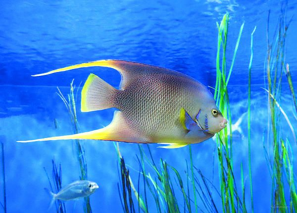 28 best images about tropical fish on pinterest bubble for Sea life paintings artists