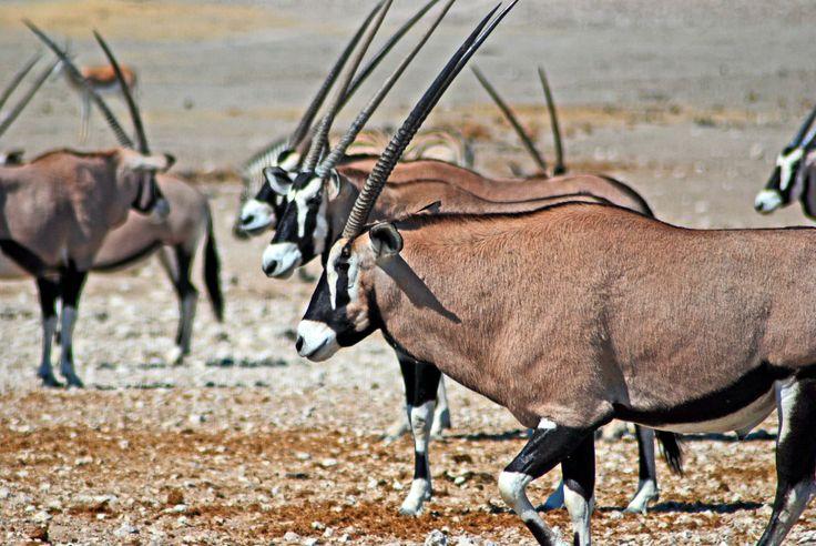 Oryx Antelope in Etosha National Park