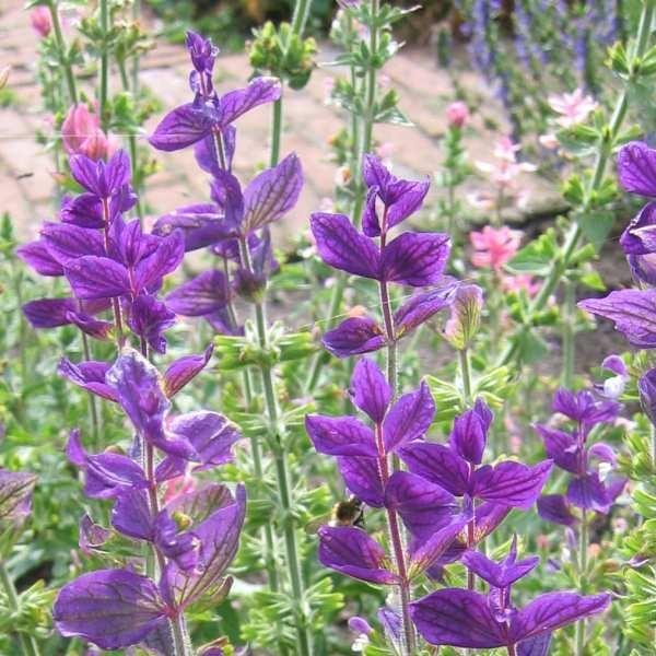 Dusksalvie \'Blue Denim\'<br><i>Salvia viridis </i>