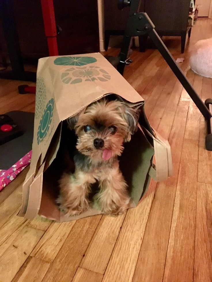Cleaning Dog Teeth In Three Easy Steps In 2020 Yorkshire Terrier Puppies Puppies Yorkie Puppy