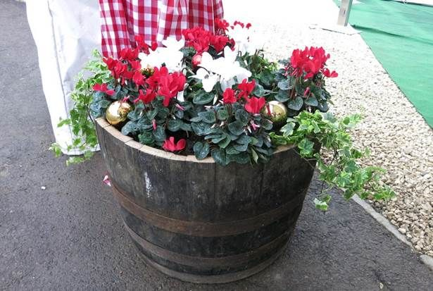 #half-barrel #planter with #ivy and #cyclamen